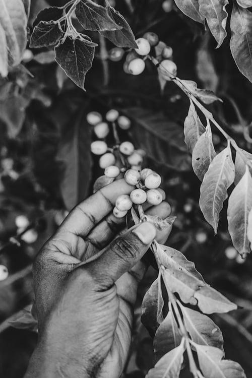 649px.coffee-bean-on-bush.bw